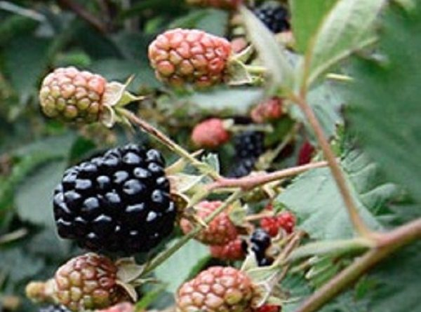 Blackberries - Health Benefits and 10 Good Reasons to Eat Them
