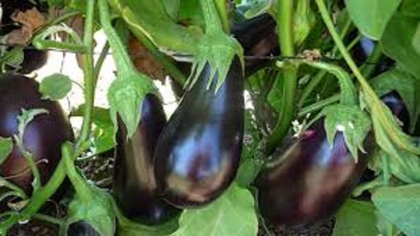 Mighty Eggplant and Its Health Benefits In Weight Loss